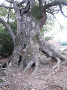 (2014.11.10)大木